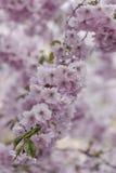 Tak van sakura Royalty-vrije Stock Afbeeldingen