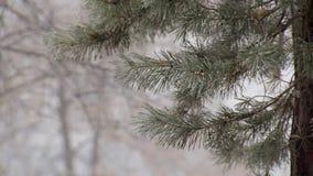 Tak van sparren in de winterdag, statisch schot stock videobeelden