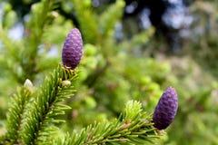 Tak van sparren met jonge purpere denneappels in de lente Stock Fotografie