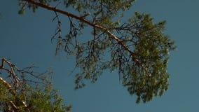 Tak van sparren, pijnboom stock videobeelden