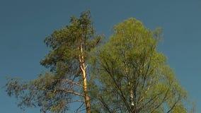 Tak van sparren, pijnboom stock footage