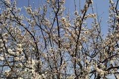 Tak van tot bloei komende abrikoos Stock Afbeeldingen