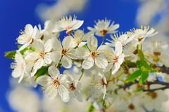 Tak van tot bloei komende appelboom stock foto