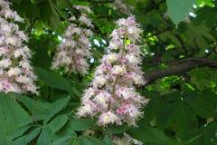 Tak van tot bloei komende kastanje bij de lentedag stock afbeeldingen