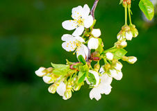 Tak van tot bloei komende kers tegen een groene tuin royalty-vrije stock foto