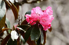 Tak van tot bloei komende Rododendron roze bloemen in Himalayagebergte, Nepa Stock Foto
