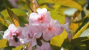 Tak van tot bloei komende sakuraboom die met bij stuifmeel van bloemen verzamelen stock video