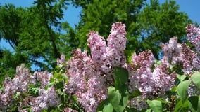 Tak van tot bloei komende sering tegen heldergroen stock afbeelding