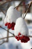 Tak van viburnum in sneeuw Royalty-vrije Stock Afbeelding