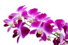 Tak van violette orchideeën die op wit worden geïsoleerd¯ Stock Afbeeldingen