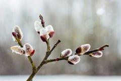 Tak van wilg met tot bloei komende knoppen in de vroege lente, close-up royalty-vrije stock afbeeldingen