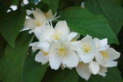 Tak van witte bloemen Royalty-vrije Stock Afbeelding