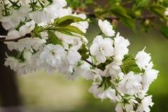Tak van witte bloemen Stock Fotografie