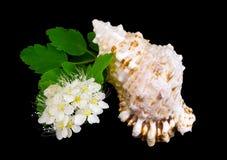 Tak van witte bloemen en overzeese cockleshell. Royalty-vrije Stock Afbeeldingen