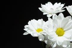 Tak van witte chrysanten op een zwarte achtergrond, ruimte voor tekst royalty-vrije stock foto's