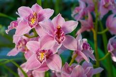 Tak van zacht roze orchidee stock afbeelding