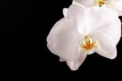 Tak witte orchidee Stock Afbeelding