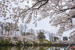 Takada Castle and Cherry blossoms Stock Photography