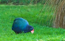 Takahe fotografia stock libera da diritti