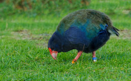 Takahe Stock Photography