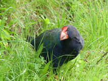 Takahe Foto de Stock Royalty Free