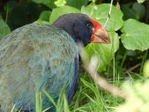Takahe Fotos de Stock