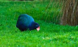 Takahe fotografie stock