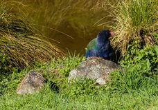 Takahe Hidden. Takahe hidding behind grass plants close to water Royalty Free Stock Photos