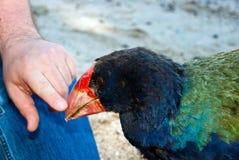 Takahe peting de touriste (hochstetteri de Porphyrio) Photos libres de droits