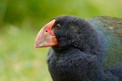 Takahe - Porphyrio hochstetteri endemic hen from New Zealand, blue plumage and big red beak.  royalty free stock photos