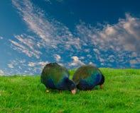 Takahe, (porphyrio hochstetteri) Royalty Free Stock Image