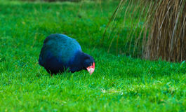 Takahe Stock Photos