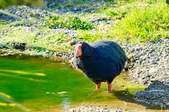 Takahe sällsynt nyazeeländsk infödd flightless fågel fotografering för bildbyråer