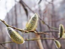Takayama Japan - April 17, 2018: Pussy-pil som blommar i vinter royaltyfria bilder