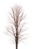 Takboom geïsoleerd beeld Royalty-vrije Stock Foto