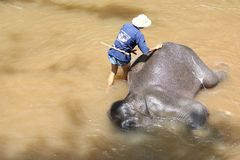 Take a bath elephant Stock Photography