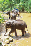 Take a bath elephant Stock Images