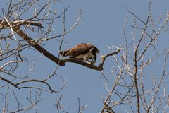 Take a Big Bite. An osprey sitting in a tree enjoying its meal of fresh fish royalty free stock photography