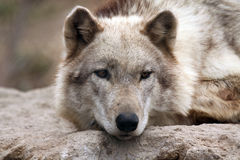 Take A Break. Closeup of a Timber Wolf resting his head Stock Photos