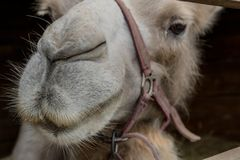 Take care of a camel, it`s bad in the desert without it. Portrait of a camel with a bridle in the aviary. Bactrian camel or Bactrian Camelus bactrianus works as stock photo