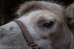 Take care of a camel, it`s bad in the desert without it. Portrait of a camel with a bridle in the aviary. Bactrian camel or Bactrian Camelus bactrianus works as royalty free stock photo