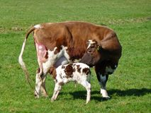 Take care of her baby calf Royalty Free Stock Image