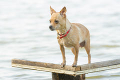 Take a dip in the river Chihuahua dog standing on a wooden table Stock Photo