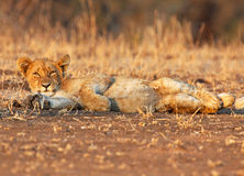 Take it easy. Lion cub relaxes in the early morning sun Royalty Free Stock Image