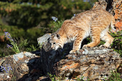 Take A Leap. Closeup of a Bobcat ready to jump from a rocky ledge Stock Image