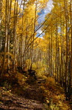 Take a long walk. Trail through Aspen forest stock image