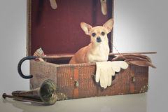 Take me home. Chihuahua in old worn vintage suitcase Stock Images