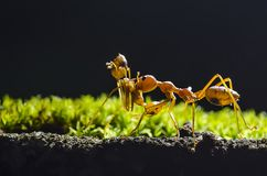 Take me home, the ant carry ant on black background. Royalty Free Stock Image