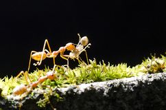 Take me home, the ant carry ant on black background. Take me home, the one ant come back home and carry other did ant together. walk in front of the green moss Royalty Free Stock Image