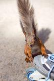 Take me to skate!. The looking to the camera squirrel and roller Stock Photography